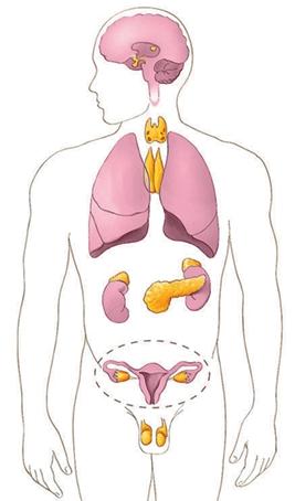 Partes del cuerpo humano interior en ingles
