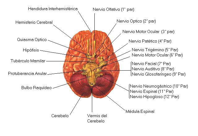 Anatomía del encéfalo - Sistema Nervioso - Clínica Alevia
