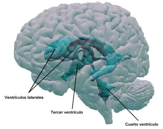 Ventr�culos cerebrales
