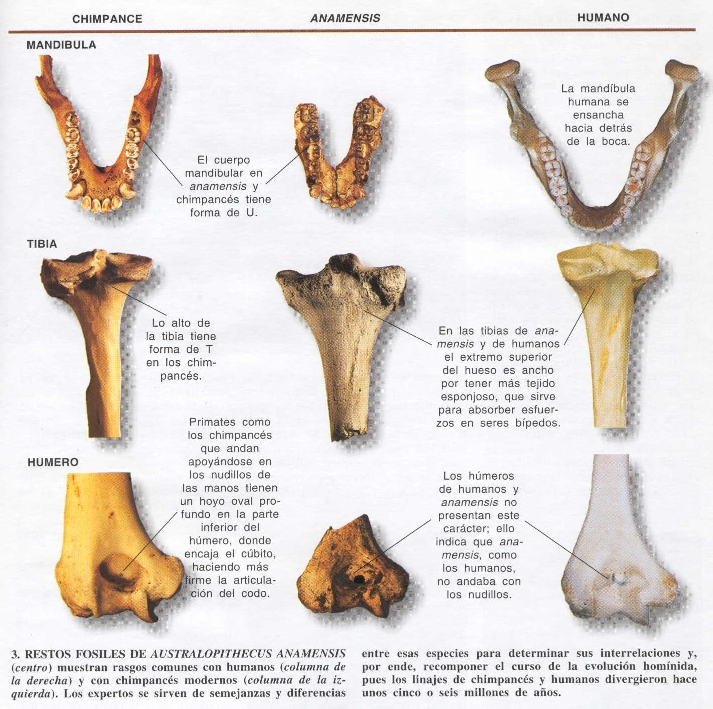 Australopithecusanamensiscompar-p.jpg