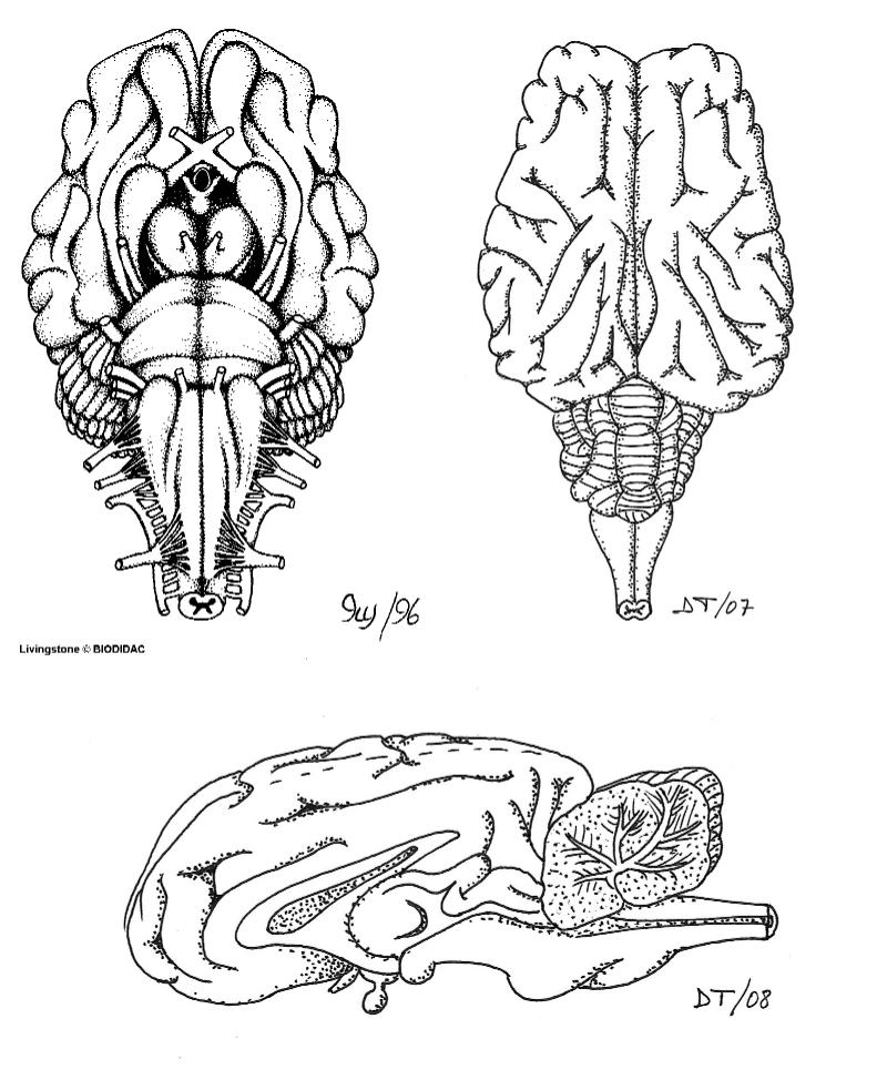 Disección de encéfalo de cordero