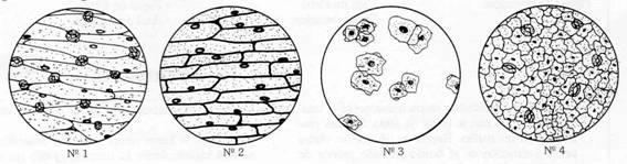 Epitelio De Mucosa Bucal